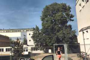 Lípa republiky u ZŠ Stupkova v Olomouci