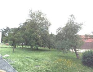 Lípa republiky v Kamenickém Šenově