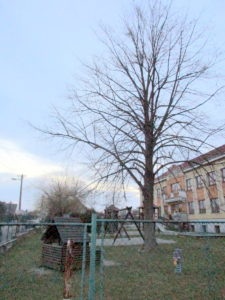 Lípa republiky u školy v Soběšovicích (2)