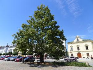 Lípa svobody na Masarykově náměstí v Uničově