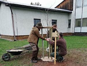 Lípa republiky České lesnické akademie v Trutnově