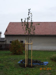 Lípa republiky v Březně u Mladé Boleslavi