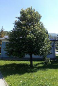 Strom republiky ve Zlatých Horách (2003)