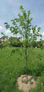 Strom republiky v Chotilsku