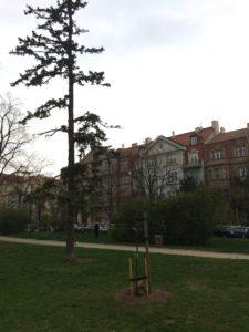 Lípa svobody v parku Ch. G. Masarykové na Praze 6